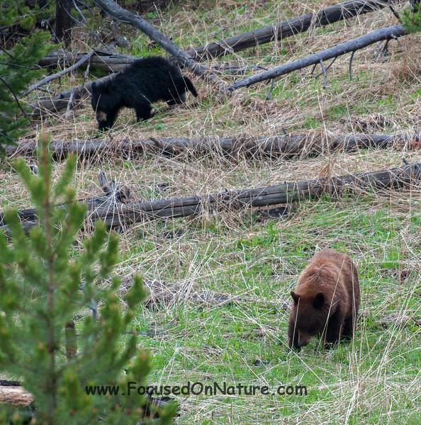 Cinnamon Black Bear and Cub