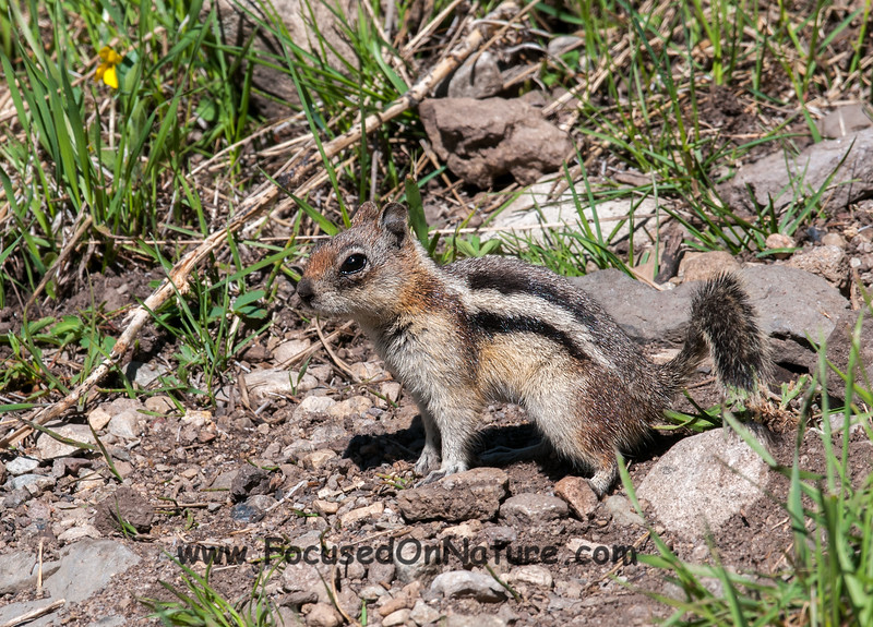 Goldern Mantled Ground Squirrel