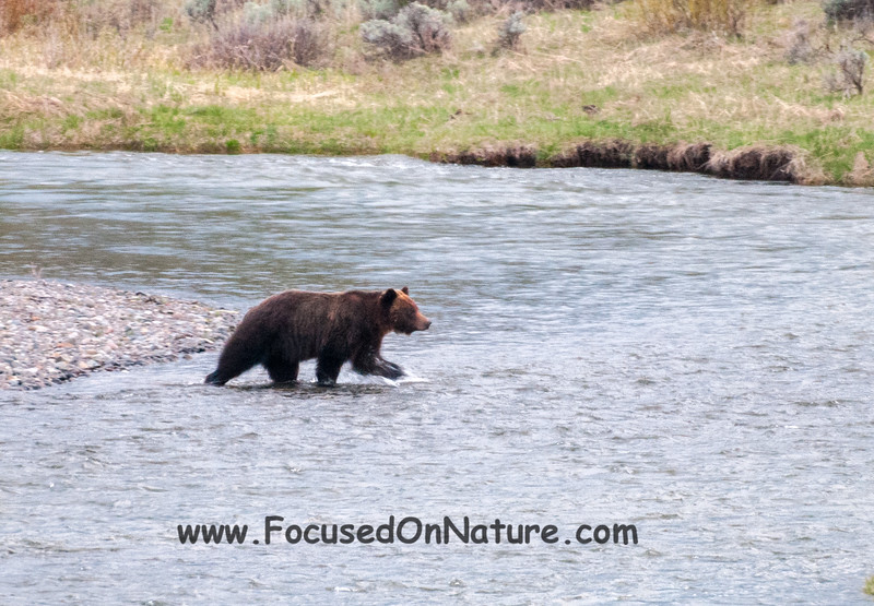 Grizzly Crossing 1