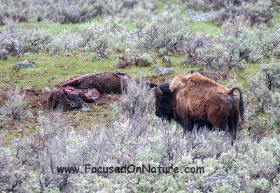 Mourning Bison