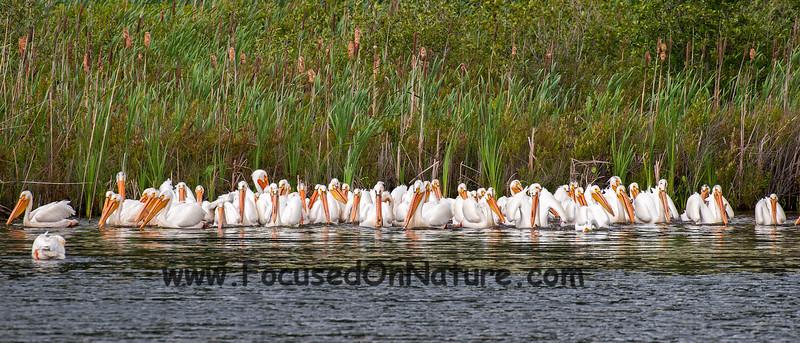 White Pelican Feeding Frenzy
