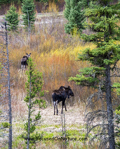 Moose Mama with Juvenile