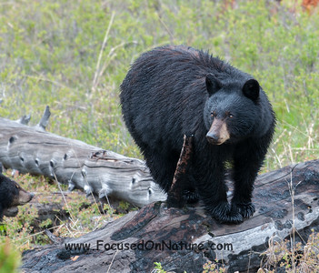 Black Bear Mama