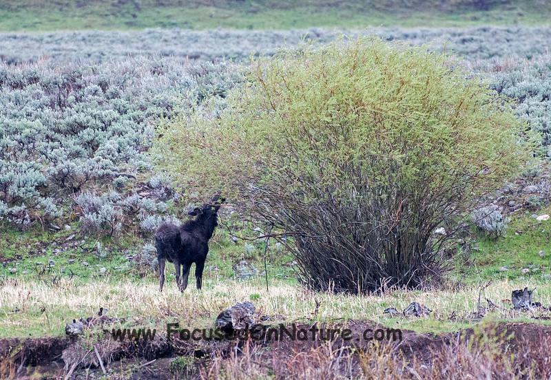 Moose Yearling Eating