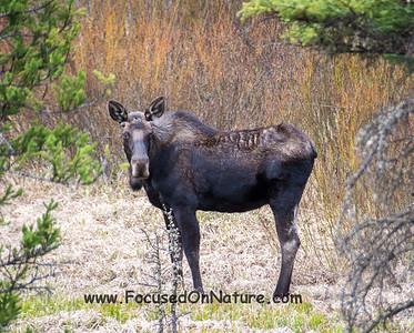Moose Mama