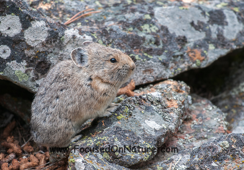 The Pika Was Victorious