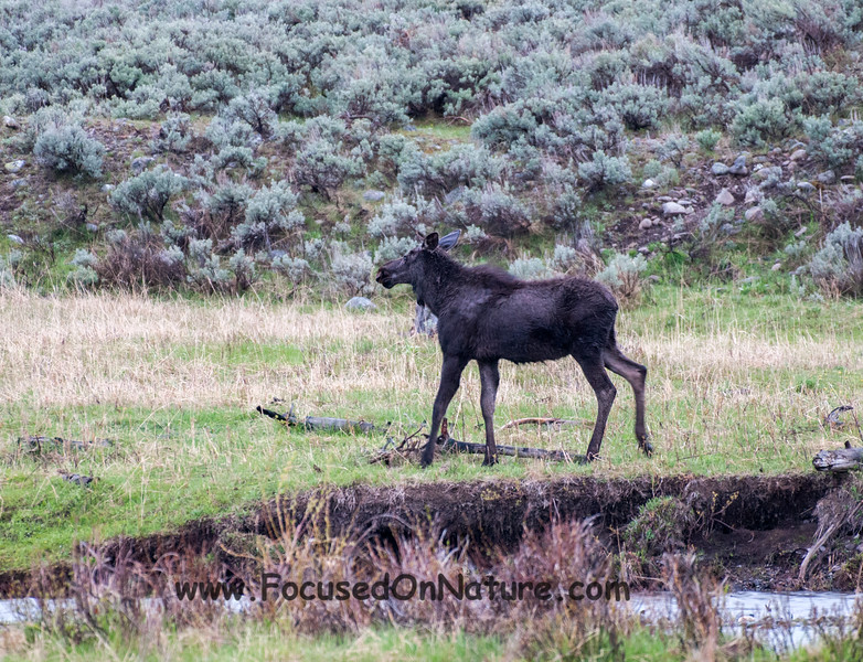 Yearling Moose Looking for Mom