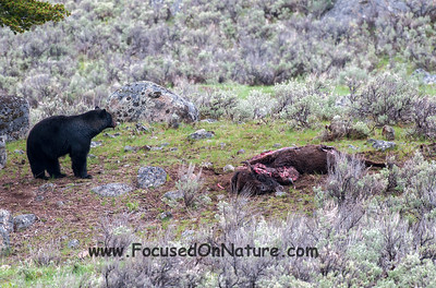 Black Bear Eyeing Coyote