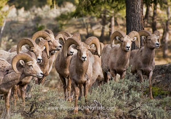 Bighorn%20Rams-M.jpg