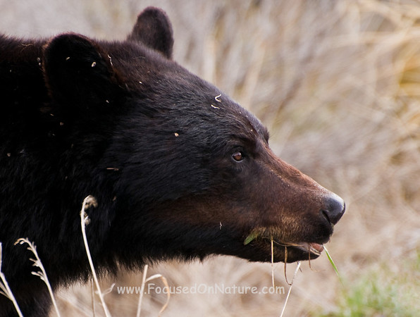 Black%20Bear%20Closeup-M.jpg
