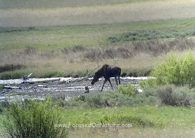 Moose with Resting Calf (Digiscoped Photo)