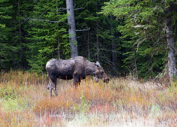 Moose at Warm Creek