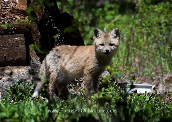 Fox Kit #2