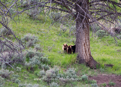 Black Bear with two Cinnamon Cubs