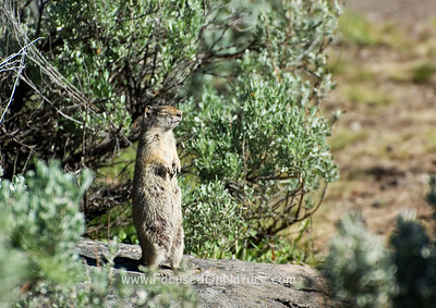 Uinta Ground Squirrel Enjoying the Sun