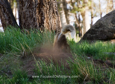 Red Fox Digging