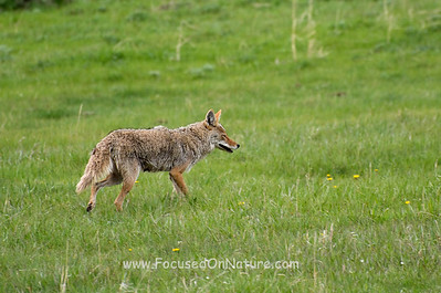 Foraging Coyote