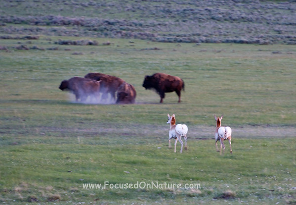 Bison and Pronghorn Alert to Wolf's Presence