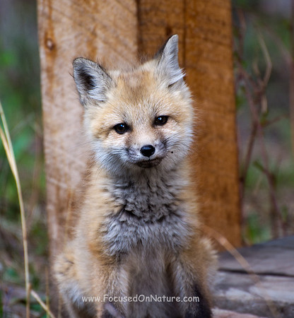 Red Fox Kit Checking Me Out