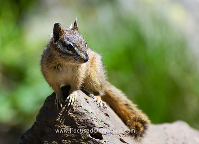 Yellow-pine Chipmunk