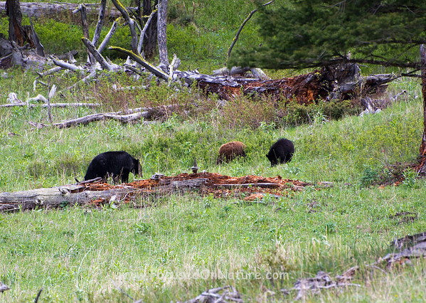 Black Bear with Two Yearling Cubs