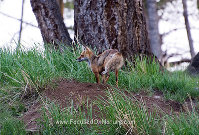 Red Fox Female at Densite