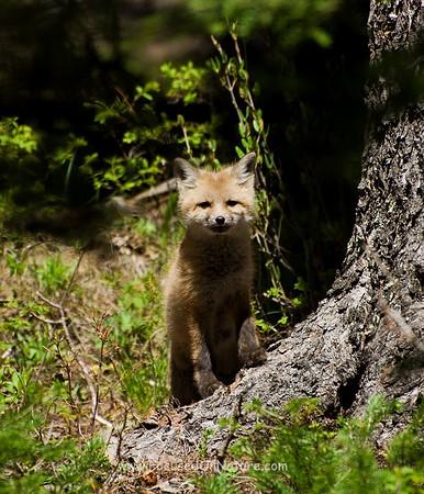 Fox Kit Staring