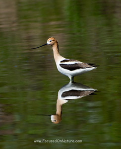 American Avocet Solo Reflection