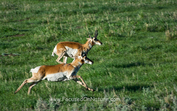 Pronghorn Race