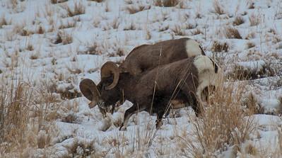Bighorn sheep and ewe