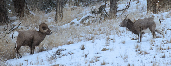 Bighorn sheep and ewe staring at each other
