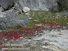 Red plant by trail to Wapama Falls (4/5/2003, Hetch Hetchy, Lynda's photo)