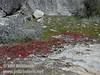 Red plant by trail to Wapama Falls (4/5/2003, Hetch Hetchy, Lynda's photo)