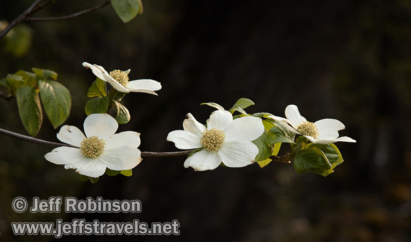 Dogwood blossoms. Seen on the west (downstream) side of the Pohono Bridge. (5/15/2010, Yosemite NP)<br /> EF-S17-85mm f/4-5.6 IS USM @ 85mm f5.6 1/50s ISO400