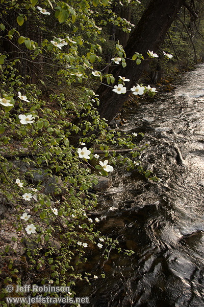 Dogwood blossoms. Seen on the west (downstream) side of the Pohono Bridge. (5/15/2010, Yosemite NP)<br /> EF-S17-85mm f/4-5.6 IS USM @ 22mm f5.6 1/50s ISO400