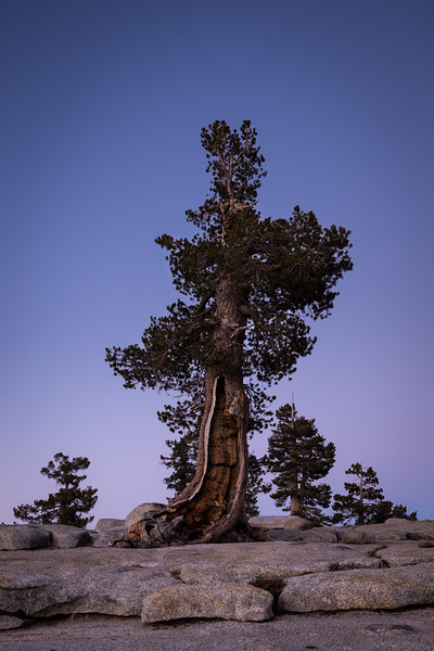 Keeper of the Grove - Olmsted Point, Yosemite