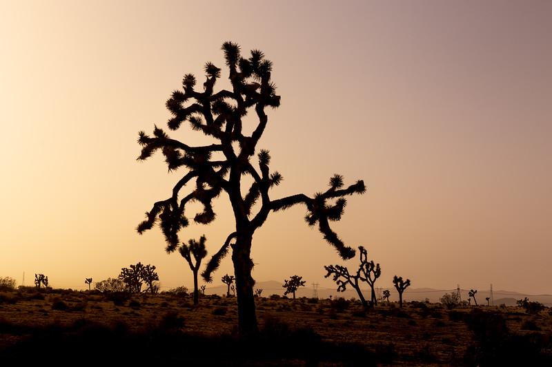 Joshua Tree Sunset