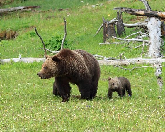 2019 -6- 12 Thru 19 Yellowstone/Grand Tetons/Glaicer