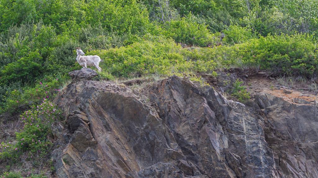 A Dall Goat