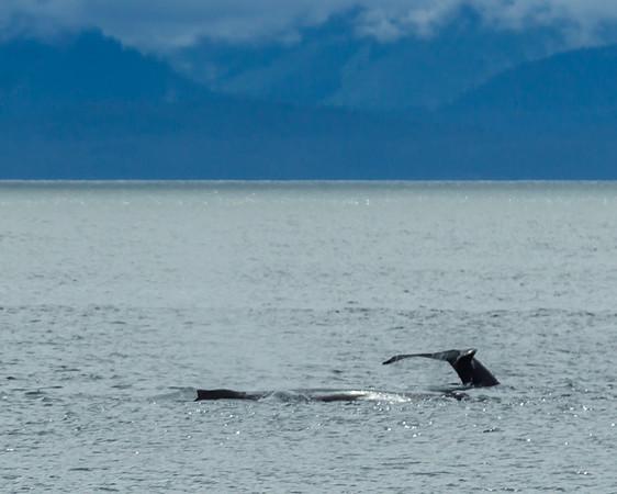 ALASKA  - Whale Watching - Jeneau, AK