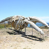 Blue Whale Skeleton<br /> The body of the 87-foot female blue whale washed ashore at Pescadero, California in 1979.<br /> Photo taken July 4, 2008.