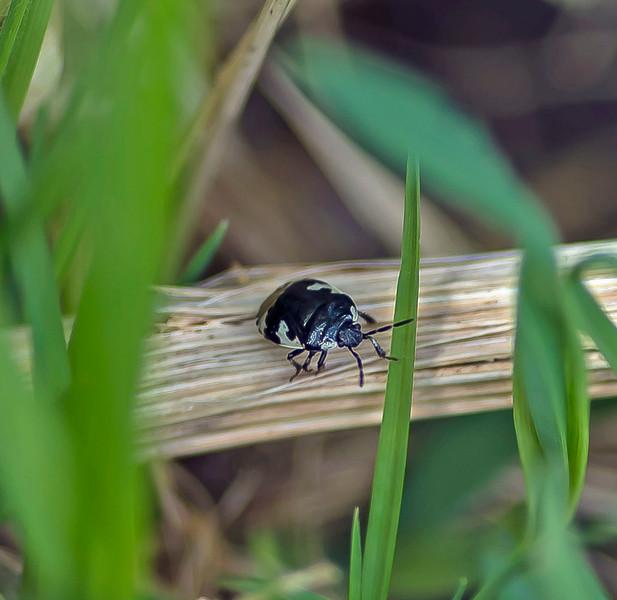 Tritomegas bicolor, (Shield Bug)