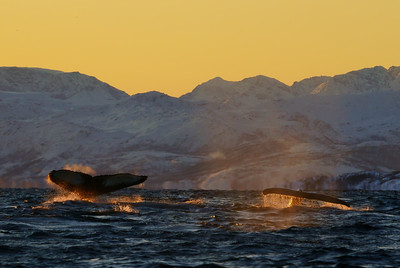 Humpbacks in Fjord