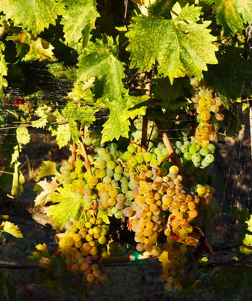 Harvest Troon Vineyard Applegate Valley Oregon 2016