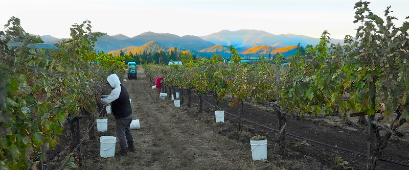 Vermentino Harvest at Dawn