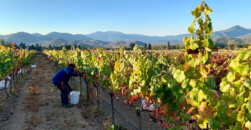 Malbec Harvest in the Applegate Valley