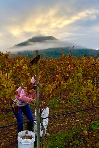 Picking at Dawn at Troon Vineyard in Oregon's Applegate Valley