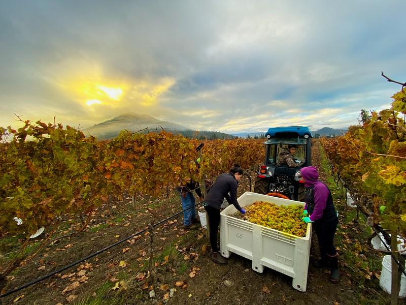 Harvest Daybreak at Troon Vineyard in Oregon's Applegate Valley