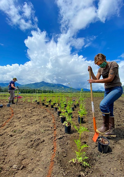 Planting Valerian to make Biodynamic Preparations