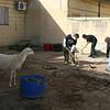 """Sheep: """"Clean my poop muhahahahahahaha"""""""